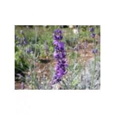 Lavande vraie - Lavandula angustifolia - Pot 9cm